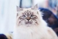 """Выставка """"Пряничные кошки"""". 15-16 августа 2015 года., Фото: 47"""