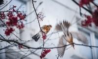 Дрозды-рябинники в Туле, Фото: 6