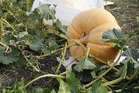 Гигантские тыквы из урожая семьи Колтыковых, Фото: 12