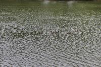 Туляки сообщают о массовой гибели уток в Платоновском парке, Фото: 6