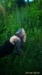 """Рыбка с """"человеческими"""" зубами из пруда Центрального парка, Фото: 1"""