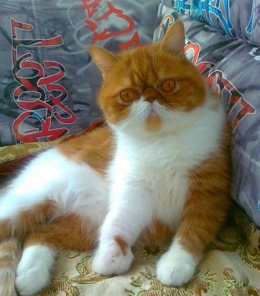 Кот Макс. 3 года; вес 5 кг