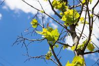 засохшие деревья на проспекте, Фото: 8