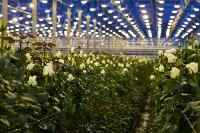 Миллион разных роз: как устроена цветочная теплица, Фото: 26