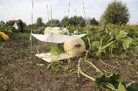 Гигантские тыквы из урожая семьи Колтыковых, Фото: 4