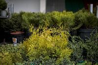 Саженцы в Леруа Мерлен, Фото: 55