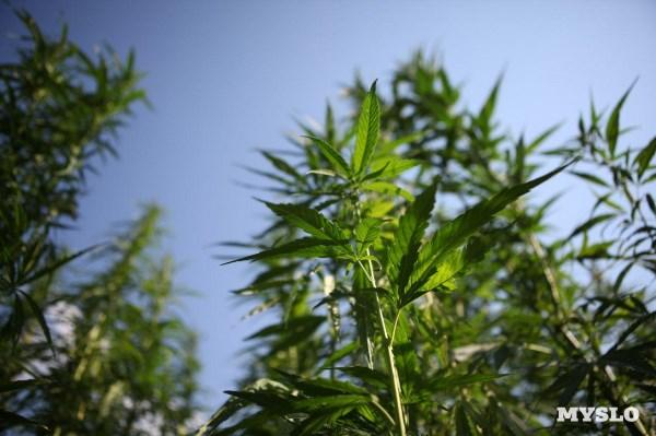 Конопля растет в тульской области как заводится уголовное дело по марихуане