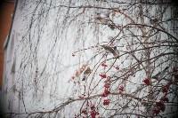 Дрозды-рябинники в Туле, Фото: 13