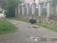Кабан в Ясногорске, Фото: 5