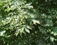 Желтеющие каштаны в Туле, Фото: 1
