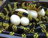 Кладки ужеобразных змей, 05.05.2016, Фото: 3