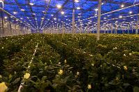 Миллион разных роз: как устроена цветочная теплица, Фото: 5