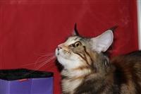 В Туле прошла международная выставка кошек, Фото: 13