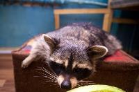 Тульское Шоу ручных енотов: «Из-за карантина нам нужна помощь туляков», Фото: 42