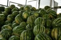 Рейд по незаконной продаже арбузов, Фото: 17