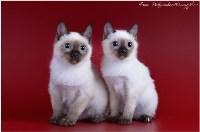 Кошки породы Скиф-той-боб, Фото: 7