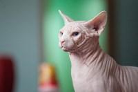 Международная выставка кошек. 16-17 апреля 2016 года, Фото: 63