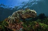 Портрет: «Бес тьмы». Морская игуана — редкий вид ящериц, проживающих исключительно на Галапагосских островах. Фото Damien Mauric, UPY 2017, Фото: 5