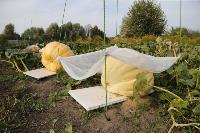 Гигантские тыквы из урожая семьи Колтыковых, Фото: 7