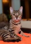 Выставка кошек в Туле, Фото: 32