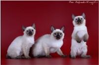 Кошки породы Скиф-той-боб, Фото: 10