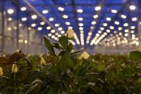 Миллион разных роз: как устроена цветочная теплица, Фото: 2