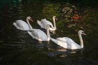Запуск лебедей в верхний пруд Центрального парка Тулы, Фото: 24