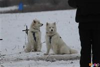 Куликово поле. Гонки на собачьих упряжках., Фото: 98