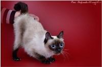 Кошки породы Скиф-той-боб, Фото: 14