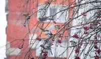 Дрозды-рябинники в Туле, Фото: 10