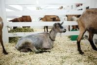 Выставка коз в Туле, Фото: 11