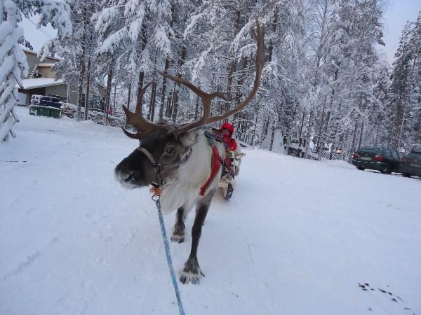 Привет мурманским оленям от лапландских. Зимняя забава тамошних - возить надоевших туристов по зимнему лесу) как вариант: оленье селфи)