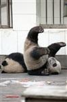 Как панды хотели сбежать из зоопарка, Фото: 4