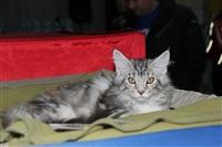 В Туле прошла международная выставка кошек, Фото: 44