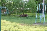 Лось во дворе дома №45 по ул. Плеханова, Фото: 1