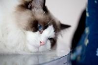 Выставка кошек. 4 и 5 апреля 2015 года в ГКЗ., Фото: 69