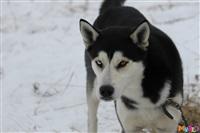 Куликово поле. Гонки на собачьих упряжках., Фото: 106