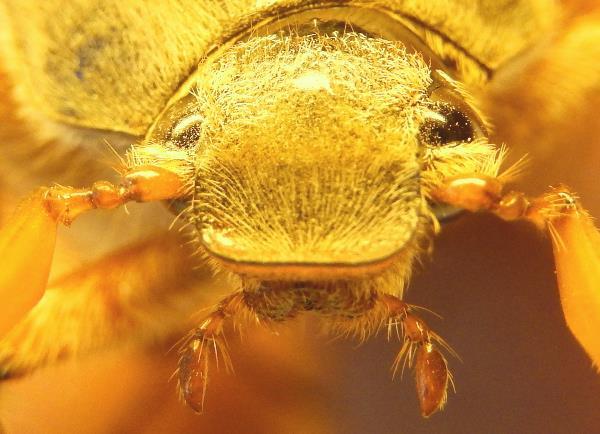 Портрет жука