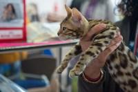 Выставка кошек в ГКЗ. 26 марта 2016 года, Фото: 91