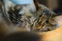 Выставка кошек в Туле, Фото: 73