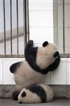 Как панды хотели сбежать из зоопарка, Фото: 2