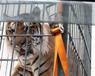 Тигры в городе!, Фото: 3