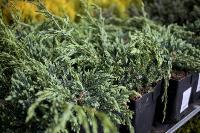 Саженцы в Леруа Мерлен, Фото: 59