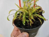 Укротитель хищных растений Сергей Куницын, Фото: 20