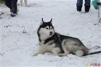 Куликово поле. Гонки на собачьих упряжках., Фото: 8