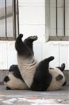 Как панды хотели сбежать из зоопарка, Фото: 5