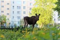 Лось во дворе дома №45 по ул. Плеханова, Фото: 15