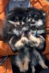 Выставка собак в Туле 26.01, Фото: 5