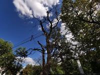 В Туле гибнут деревья, Фото: 32