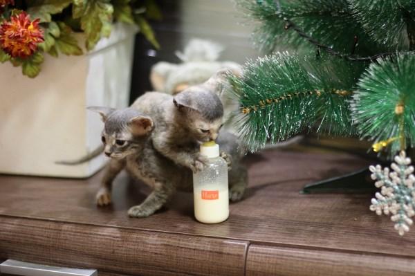 Гибриды сфинкса и рыжего деревенского котика)) У мамы кончилось молока и мы кормили их из бутылочки. Каждое утро четверо трое таких карандухов подбегали к нашей постели и требовали жрать из бутылки))